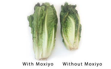 lettuce before and after moxiyo use