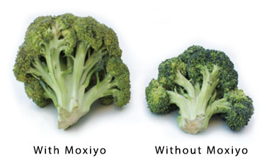 broccoli after gemfresh